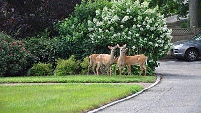Deer Repellent Tips from Homeowners