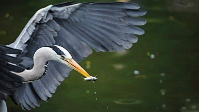 How to Get Rid of Herons