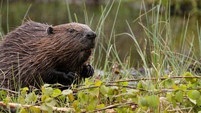 How to Trap and Repel Beaver Pests