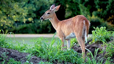 Protecting Plants From Deer