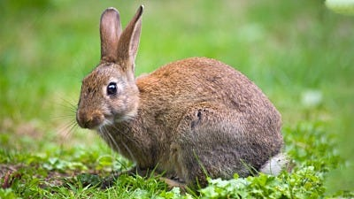 The Best Rabbit Bait and Trapping Tips