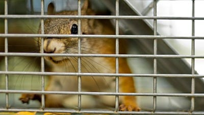 Trapping and Relocating Ground Squirrels
