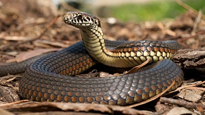 Identify and Get Rid of Poisonous Snakes in Your Yard