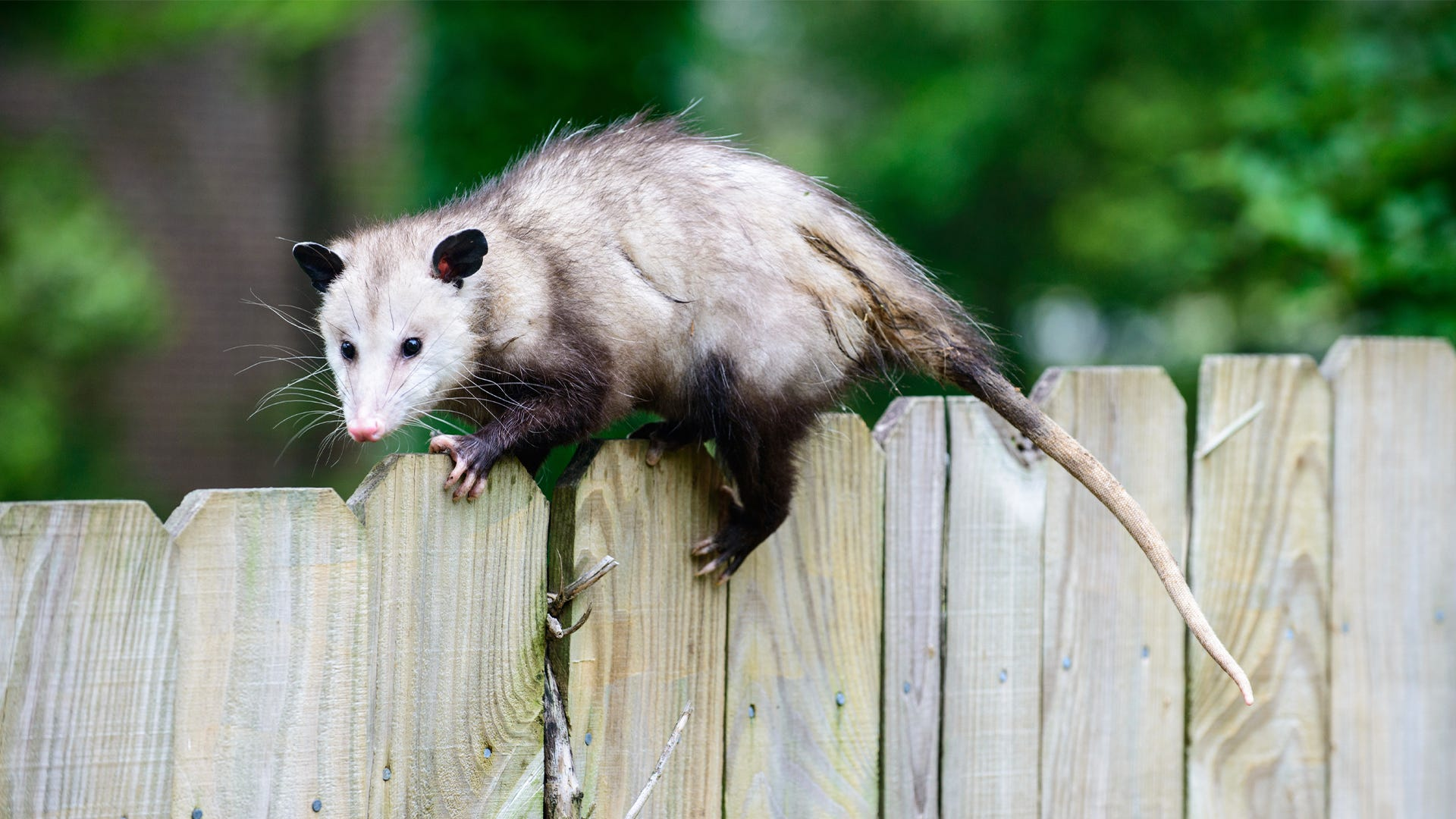 Expert Tips for Trapping An Opossum