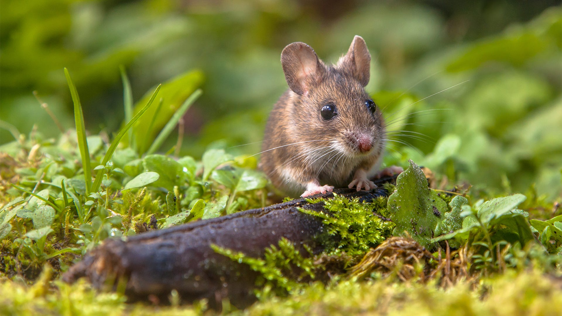 Get Rid of Mice for Good