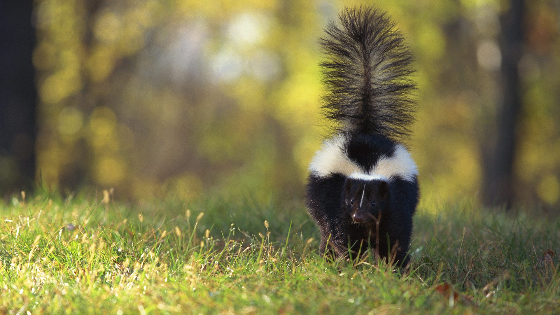 How Skunks Spray and Other Skunk Spray Facts