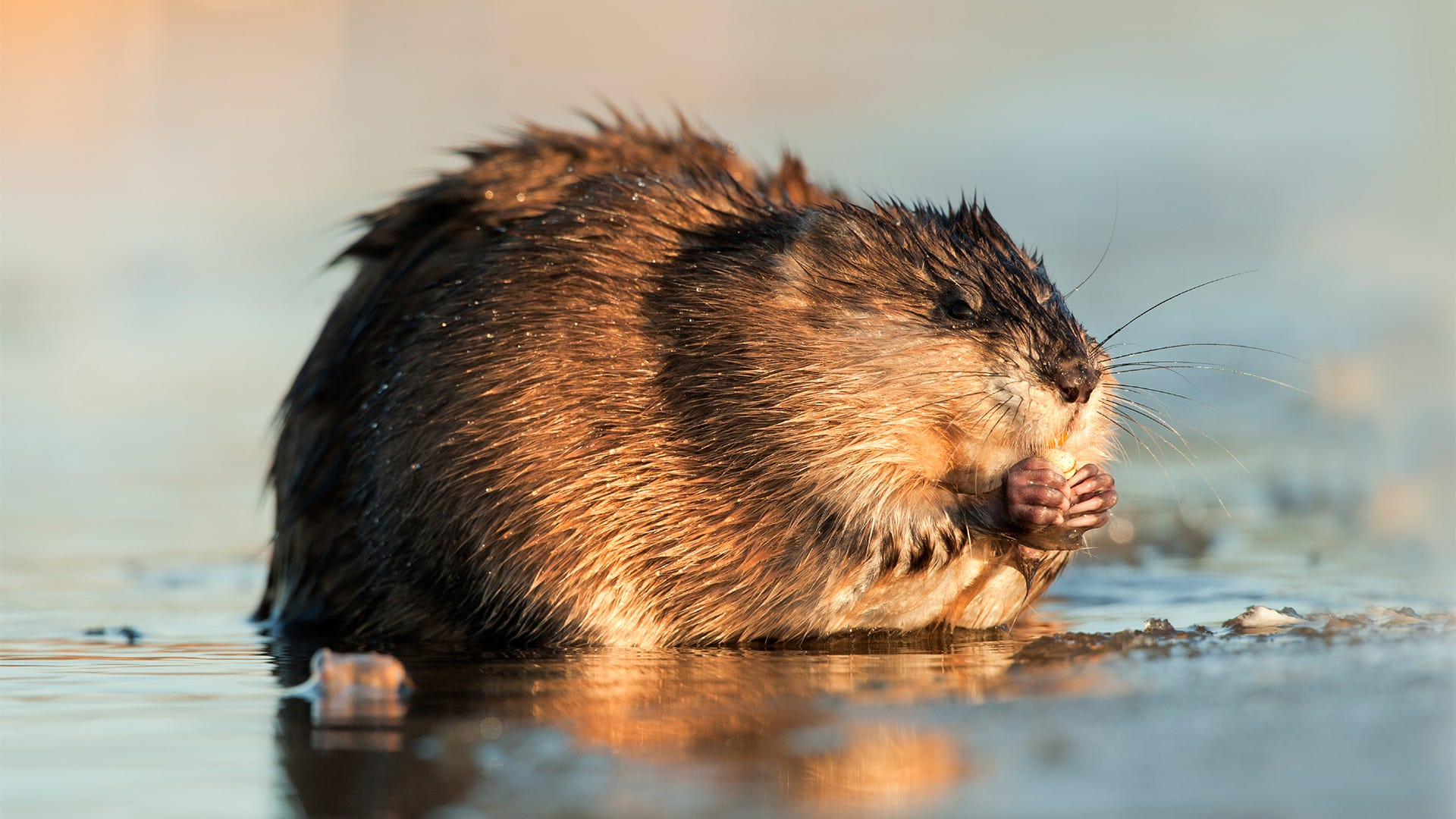 How to Deter Muskrats