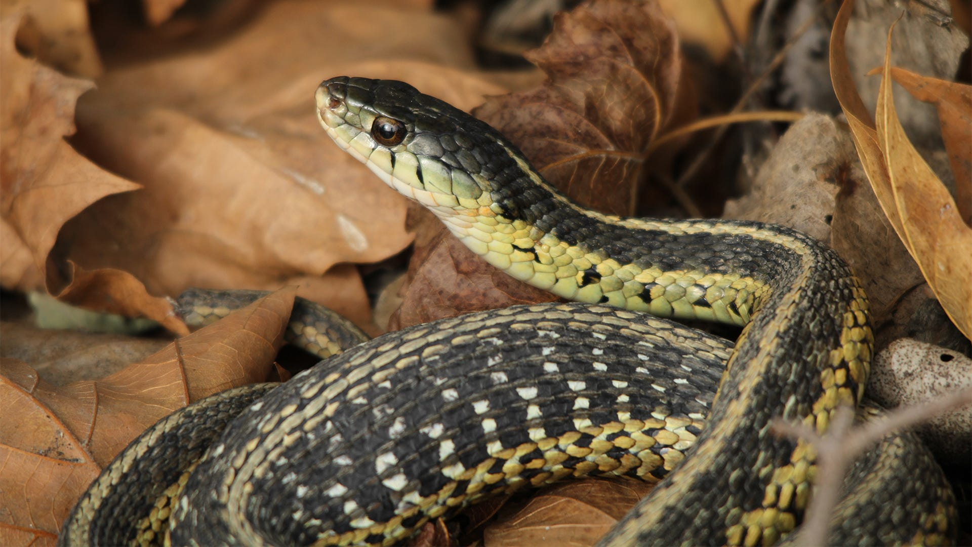 How to Get Rid of Garter Snakes
