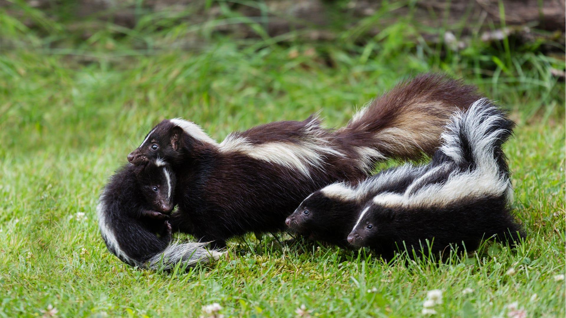 Say Goodbye to Skunks