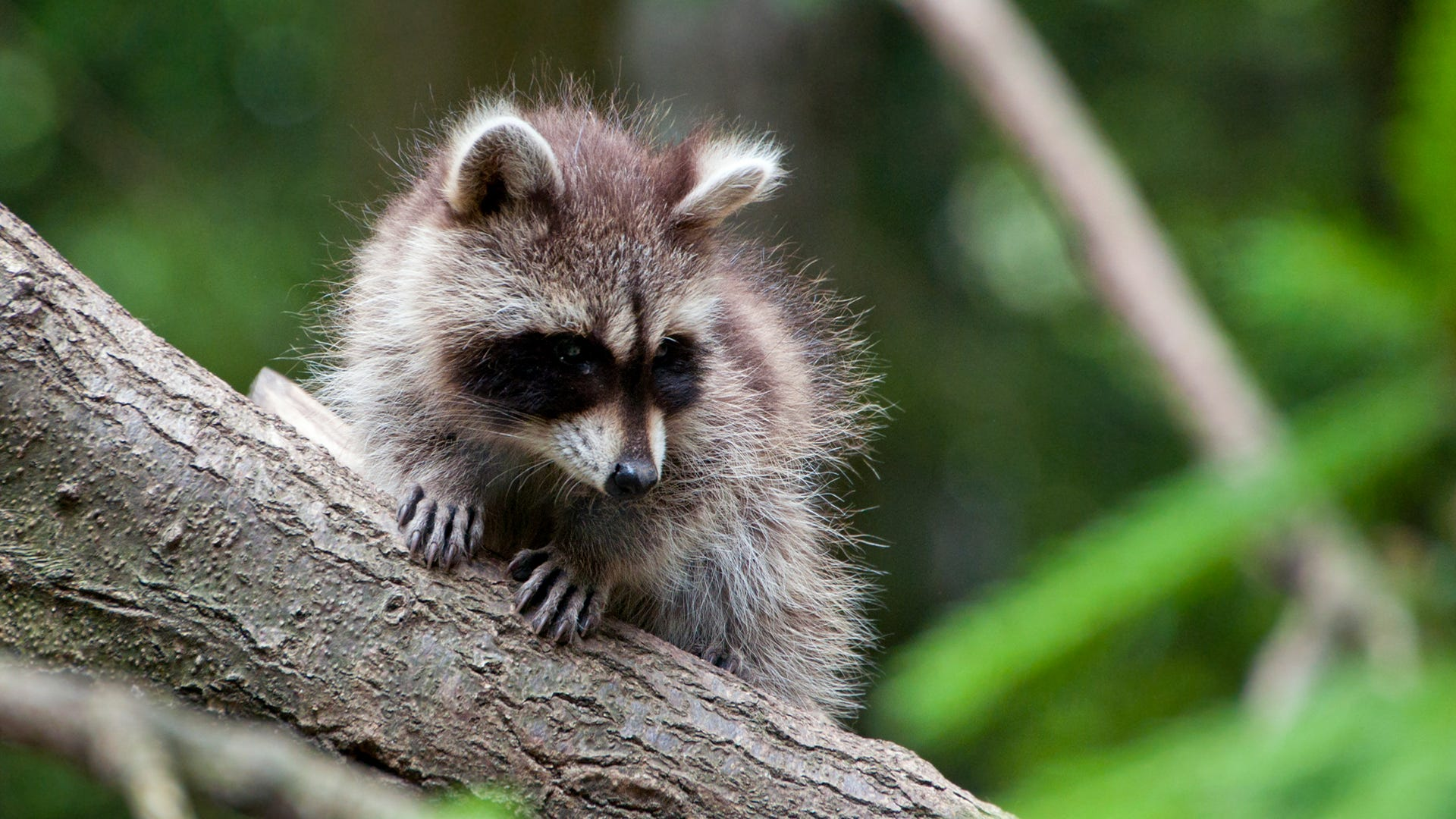 What is the Best Method for Raccoon Control?