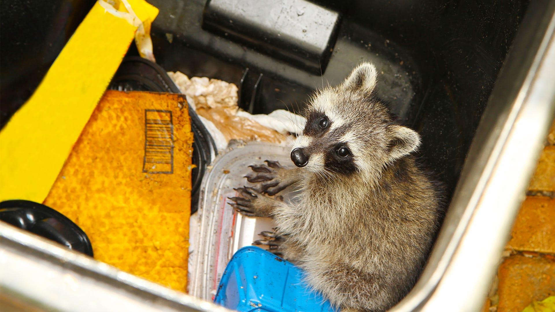 Where Do Raccoons Live?