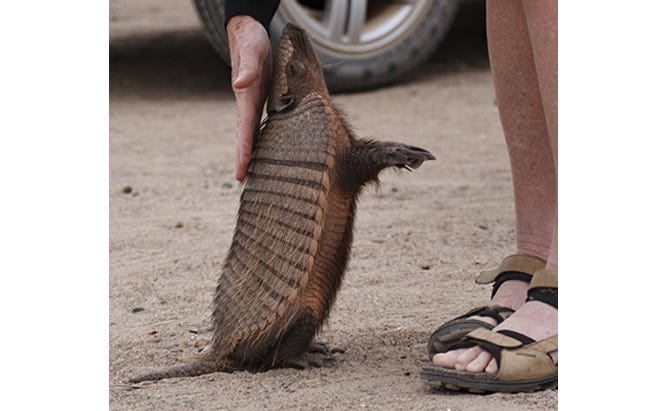 leprosy and armadillos