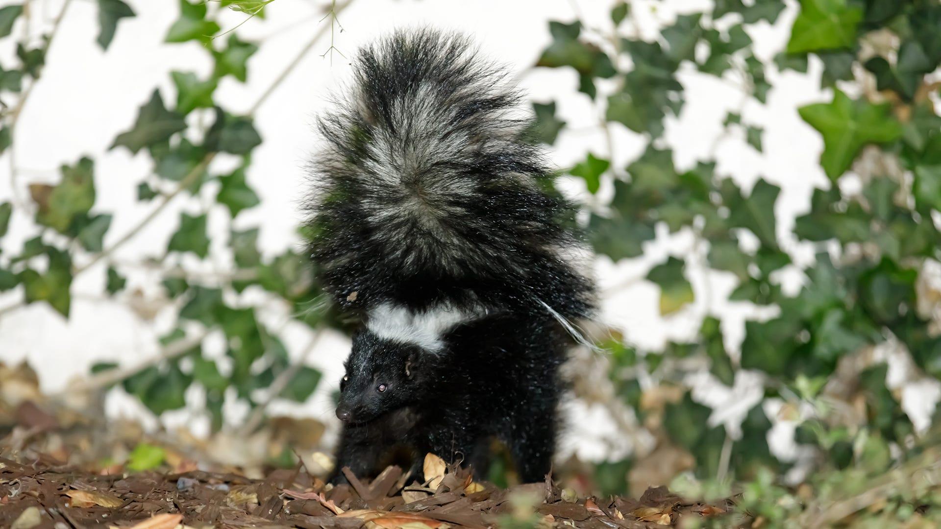 skunk in woods