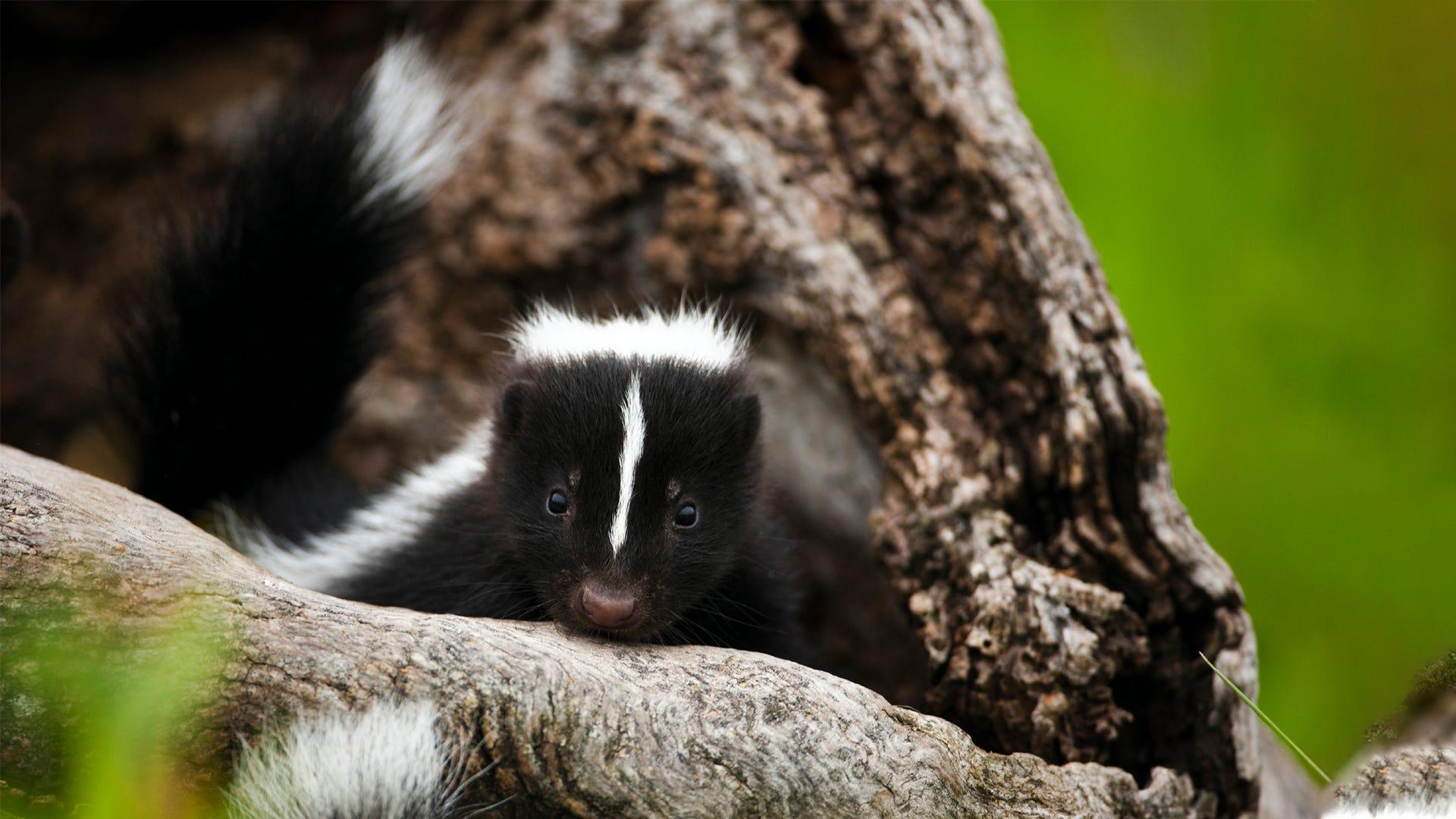 Get Rid of Skunks in 5 Easy Steps